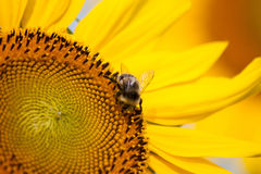 Bumble bee on a sunflower. A bumble bee on a sunflower close-up Royalty Free Stock Photo