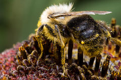 Bumble Bee on Sunflower. Bumble bee extracting pollen from sunflower Royalty Free Stock Photos