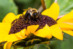 Bumble Bee on Sunflower Stock Image