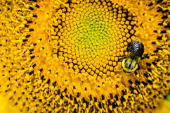 Bumble bee on a sunflower Stock Photo