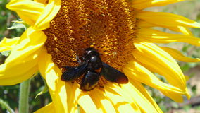 Bumble Bee and the sunflower Royalty Free Stock Images