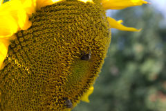 Bumble bee on a sunflower. Striped bumble bee on a sunflower Royalty Free Stock Photos