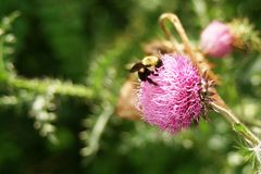 Bumble Bee on Thistle. Bumble bee collecting pollen from a thistle flower Royalty Free Stock Photo