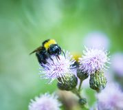 Bumble bee on thistle Royalty Free Stock Images