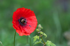 Bumble bee on vibrant red poppy in green background. Bumble bee on red poppy in green background Royalty Free Stock Photos
