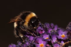 Bumble bee. Royalty Free Stock Photography