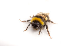 A Bumble Bee on a white background. A hairy black and yellow Bumble Bee on a white background Royalty Free Stock Photography