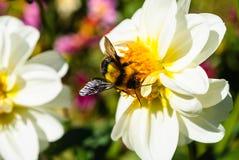 Bumble bee on white chrysanthemum flower. Bumble bee on pollen of white chrysanthemum flower royalty free stock image
