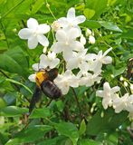 A bumble bee on a white flower collecting pollen and gathering n. A yellow bumble bee on a beautiful white flower collecting pollen and gathering nectar. Flower royalty free stock image