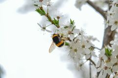 Bumble bee. White flowers and the sky Stock Images