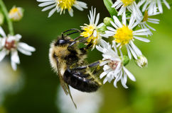 Bumble Bee on White and Yellow Flower Royalty Free Stock Images