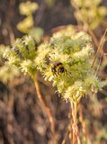 Bumble Bee on whiye flowers Royalty Free Stock Image