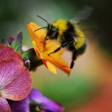 The Bumble Bee worker. A Bumble Bee gathers nectar from a flowering plant Stock Photography