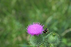 Bumble Bee Working Royalty Free Stock Image
