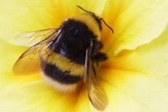 Bumble bee on yellow. Summer Stock Photo