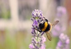 Bumble bee. A yellow and black striped bumble bee on lavender in a garden Royalty Free Stock Photography