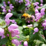 Bumble Bee. This is a yellow and black bee about to land on some purple flowers Royalty Free Stock Images