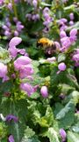Bumble Bee. This is a yellow and black bee about to land on some purple flowers Stock Images
