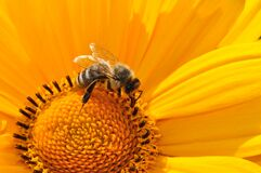 Bumble Bee on Yellow Daisy royalty free stock image