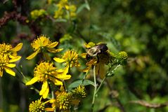 Bumble bee yellow flower Royalty Free Stock Photo