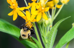 Bumble Bee. On a Yellow Flower Stock Photo