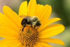 Bumble Bee on a Yellow Flower. A fuzzy bumble bee busily gathers nectar from a yellow flower royalty free stock images