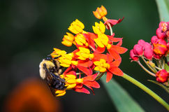 Bumble Bee. On a Yellow and Orange Flower Stock Images