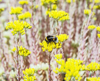 Bumble-bee and yellow sedum flowers, fauna and flora Stock Photography