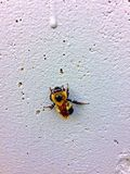 Bumble bee. A yellow bumble bee is sitting against the wall, slowing down as fall Stock Photos