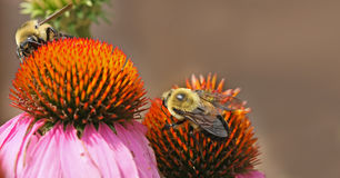 Bumble bees. Macro photo of 2 bumble bees on a pink  coneflower Royalty Free Stock Photo