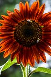Bumble bees on a bright red sunflower. Two bees looking for some nectar. Save the bees plant more flowers. Bumble bees on a colorful sunflower. Sunflower red stock image