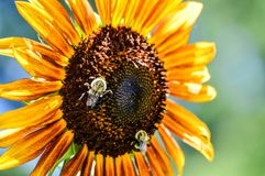 Bumble bees on a colorful sunflower. Two bees looking for some nectar. Save the bees plant more flowers. Bumble bees on a colorful sunflower. Sunflower yellow royalty free stock image