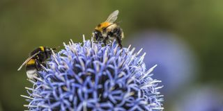 Bumble Bees on Echinops. Or Globe Thistle. Green Blurry Background. Copy Space royalty free stock photography