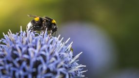 Bumble Bees on Echinops. Or Globe Thistle. Green Blurry Background. Copy Space stock photos