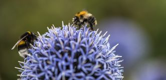 Bumble Bees on Echinops. Or Globe Thistle. Green Blurry Background. Copy Space royalty free stock images