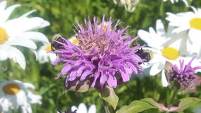 Bumble Bees On Purple Flower stock video footage