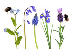 Bumble Bees and Spring Flowers. Spring flowers in blue, with two bumble bees gathering pollen, over white background stock image