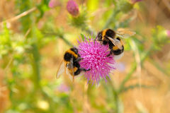 Bumble-bees in the summer time stock photo