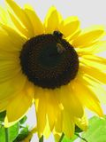 bumble bees tuscany sun Stock Image
