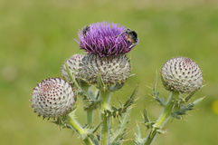 Bumble Bees on Woolly Thistle Stock Photos