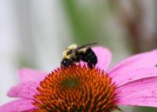 Bumble esté en un wildflower Imágenes de archivo libres de regalías