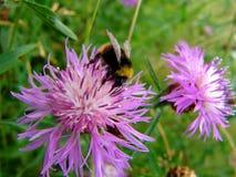 Bumble il fiore 1 Fotografia Stock Libera da Diritti
