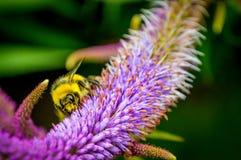 Bumble l'ape Fotografie Stock