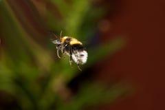 Bumble l'ape durante il volo Immagini Stock Libere da Diritti