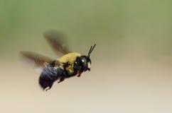 Bumble l'ape durante il volo Fotografie Stock Libere da Diritti