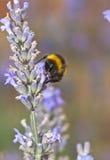 Bumble l'ape e la lavanda fotografia stock libera da diritti