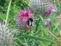 Bumble l'ape su un fiore Fotografie Stock Libere da Diritti