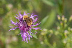 Bumble l'ape su un fiore Fotografia Stock Libera da Diritti