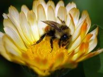 Bumble l'ape su un fiore giallo di corrispondenza immagine stock libera da diritti