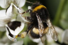 Bumble o Close-up da polinização da abelha Imagens de Stock Royalty Free